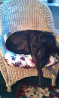 Sleeping_bblack_lab