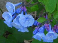 Virginia_bluebells