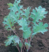Kale_-_red_russian
